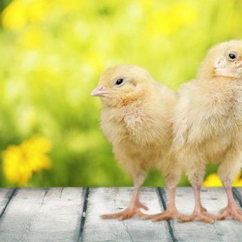 ChickenCoopPLR